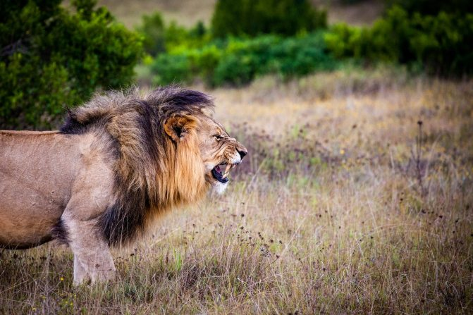 lion-predator-big-cat-cat-162093